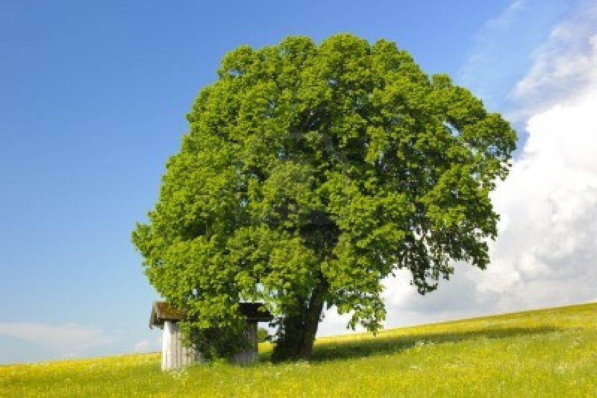 Ginkgo paisajismo arbol de tilo for El mejor arbol para plantar en casa